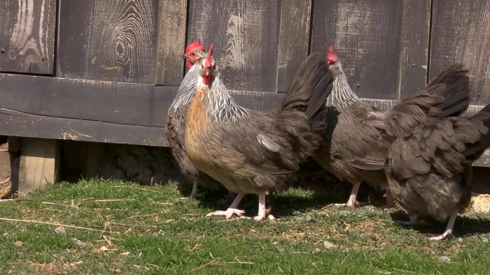 Доркинг - мясная порода кур. Характеристики, правила выращивания и содержания, кормление, разведение