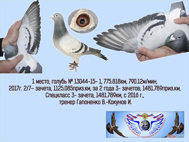 Спортивные голуби – породы, содержание, тренировки и соревнования