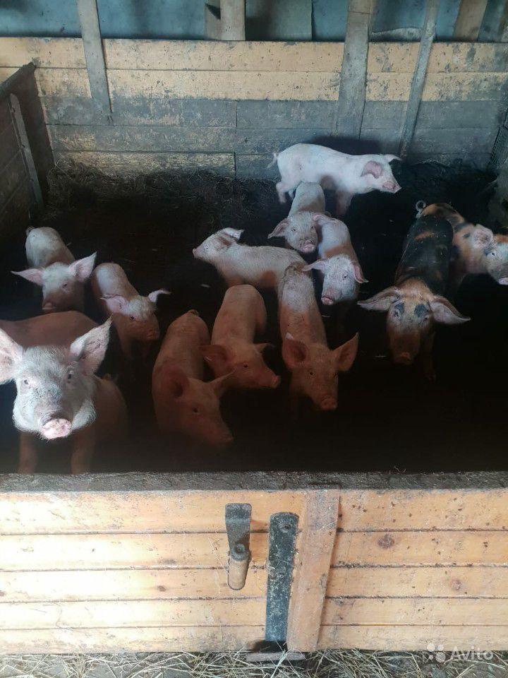 Исландский ландрас - мясо-яичная порода кур. Описание, характеристики, разведение и уход, кормление, инкубация