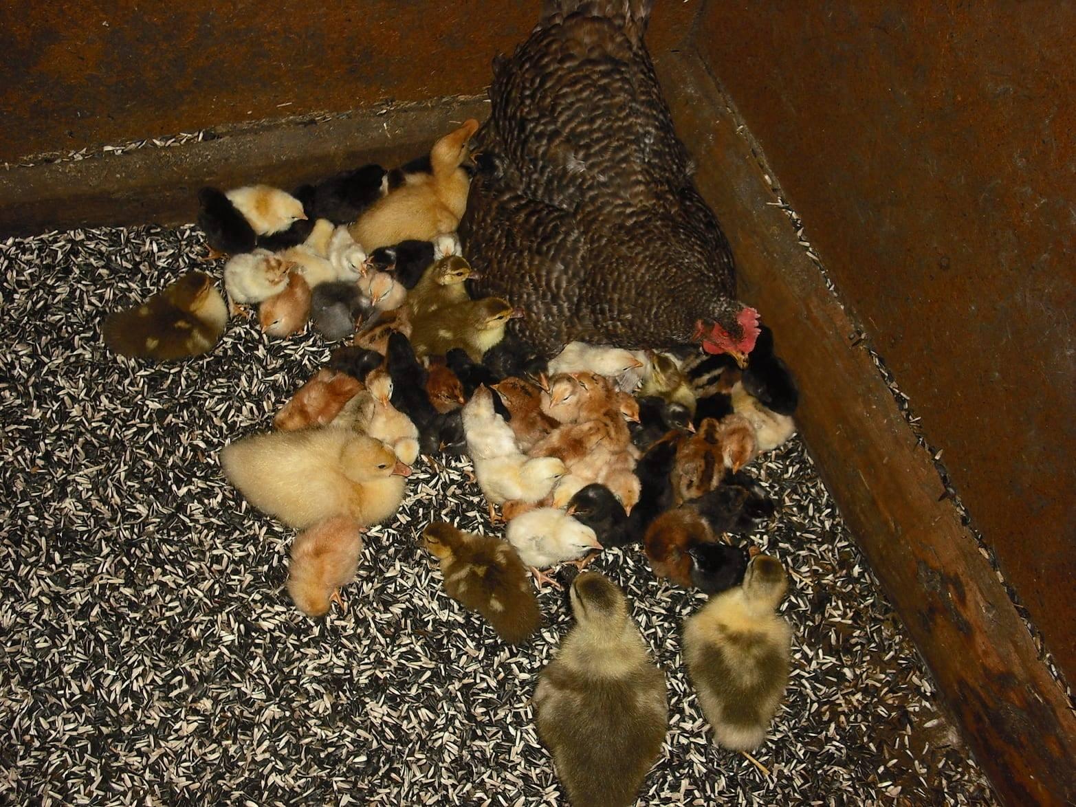 Выведение цыплят курицей наседкой