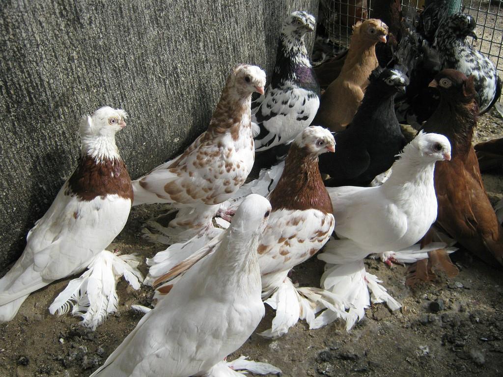 Обзор породы Узбекских голубей с фото и видео