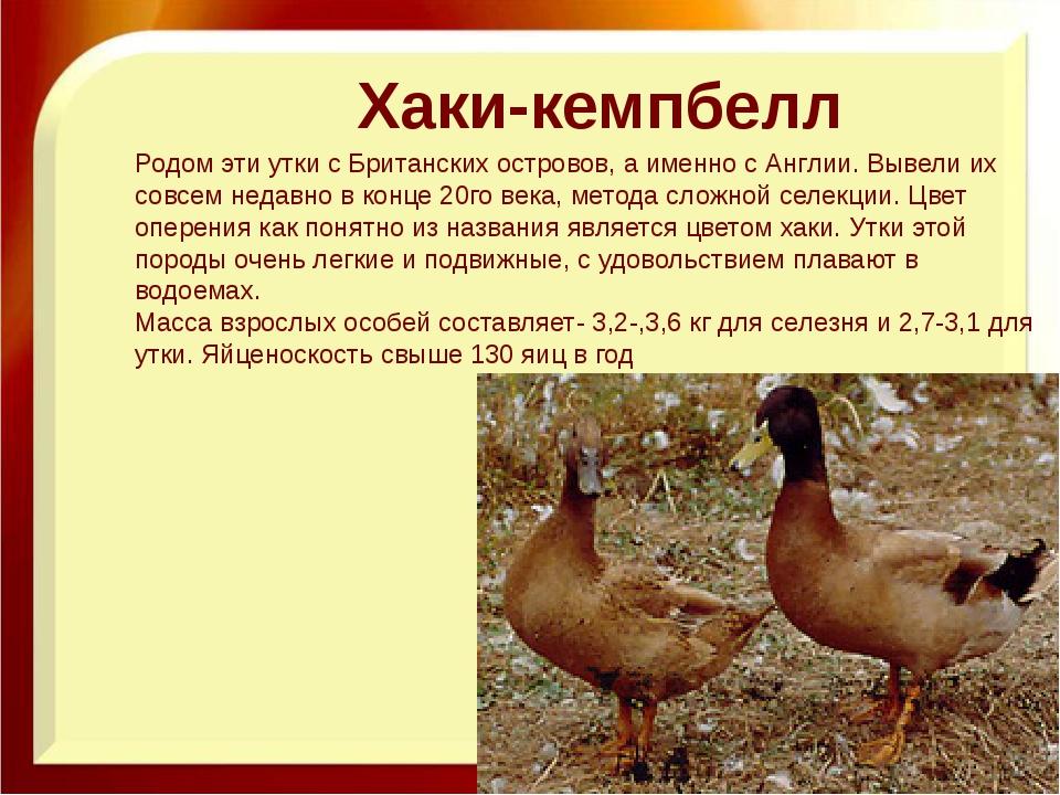 Украинские утки – какую из разновидностей можно назвать самой лучшей и почему