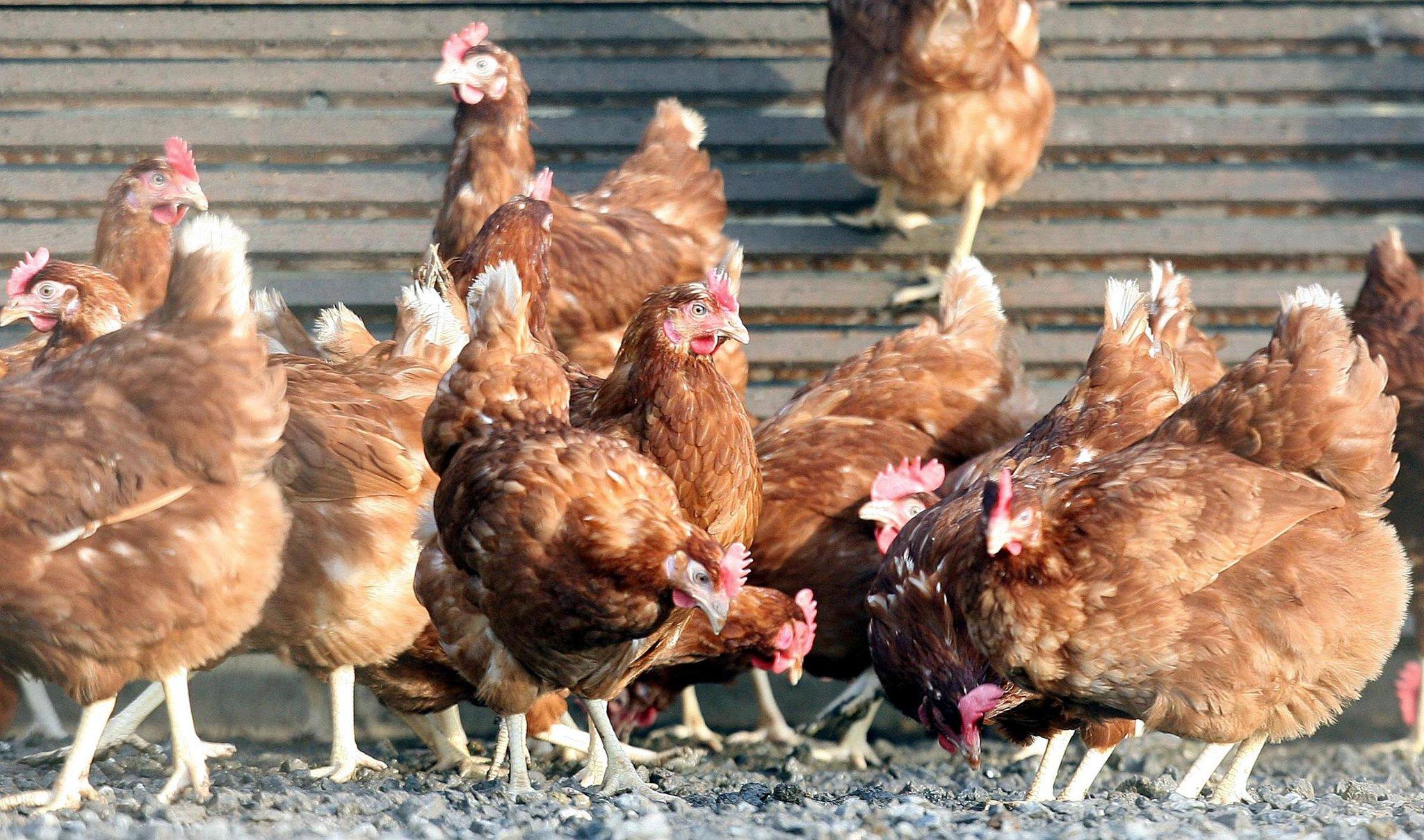 Как заставить кур откладывать яйца?