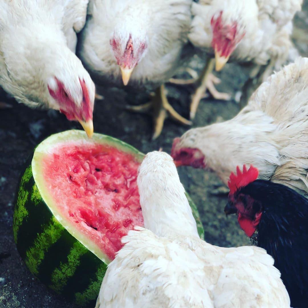 Бройлер Росс 708 - мясо-яичный кросс кур. Описание, характеристики, особенности выращивания и правила кормления