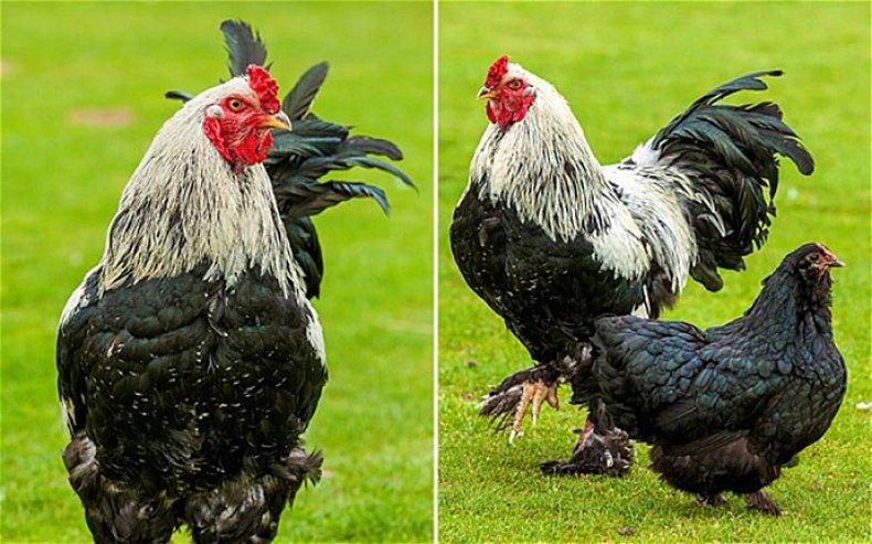 Самый большой петух в мире: гигантские породы кур, особенности содержания и кормления