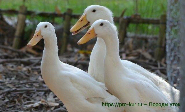 Породы уток фото и описание — яичные, мясные и декоративные
