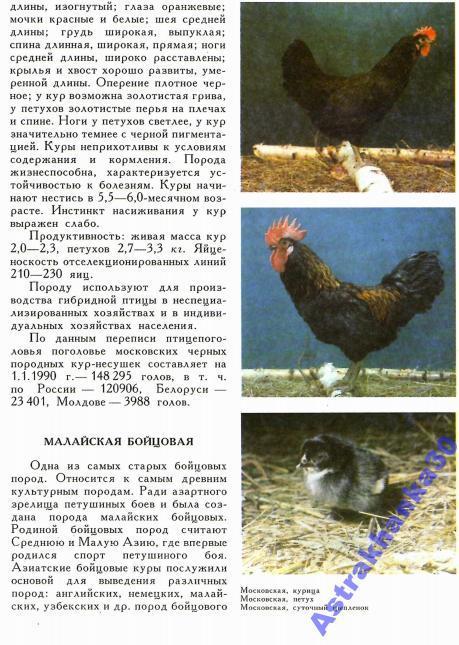 Венда порода кур – характеристики и описание африканки