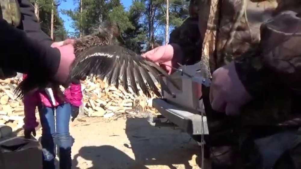 Как подрезать крылья курам, чтобы не летали — фото и видео советы