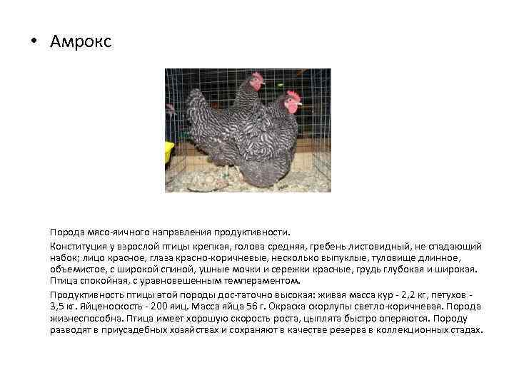 Московская белая - мясо-яичная порода кур. Описание, характеристика, нюансы разведения, ухода и кормления, инкубация
