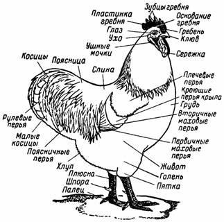 Есть ли у курицы уши и где именно?