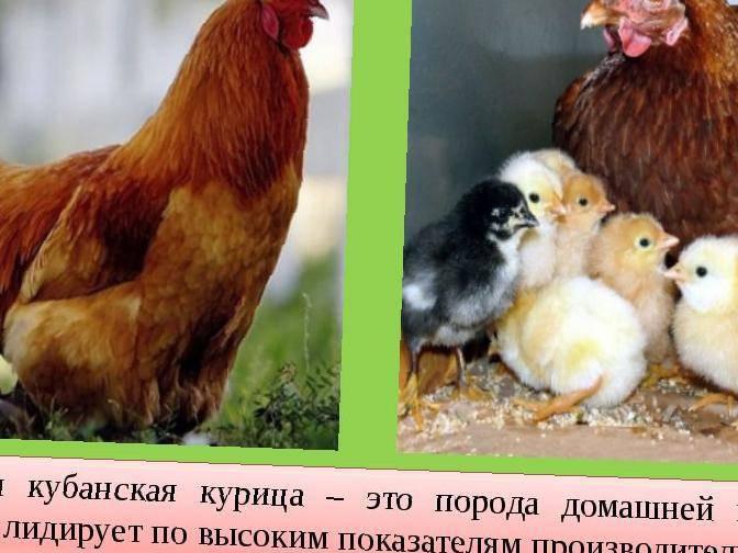 Кубанская порода кур красная – описание и фото
