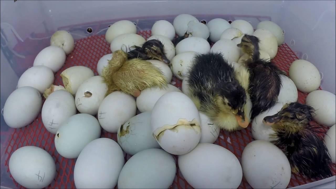Как долго утки-наседки высиживают яйца?