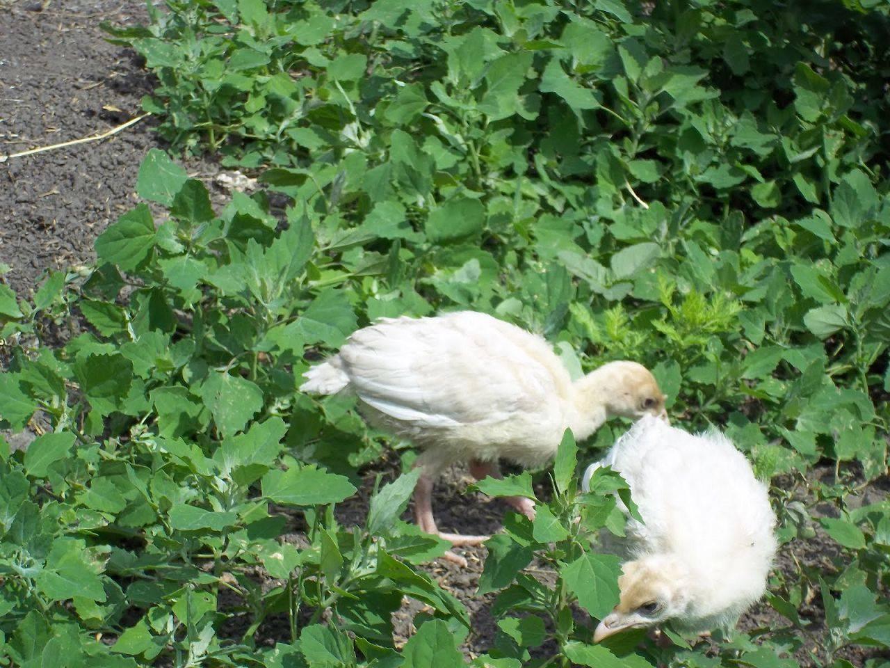 Трава в качестве корма для индюшат – надо ли?