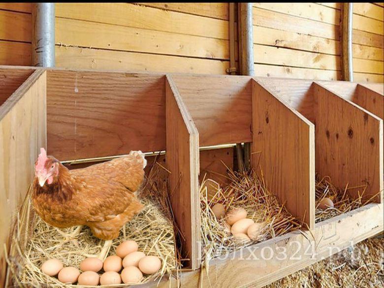 Способы увеличения яйценоскости кур в домашних условиях