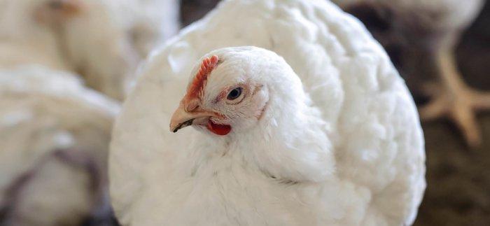 Бройлер Росс 308 - мясной кросс кур. Описание, характеристики, выращивание и кормление