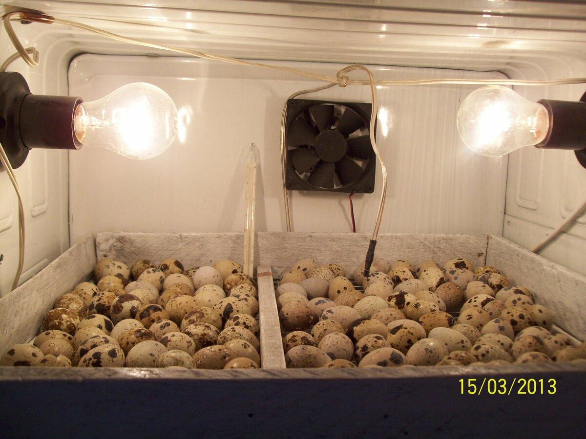 Как правильно подсадить цыплят из инкубатора к курице-наседке, чтобы она их приняла?