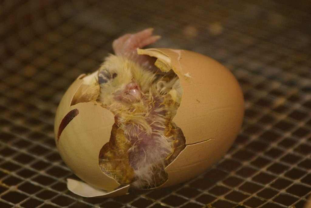 Если треснуло инкубационное яйцо – как спасти цыпленка?