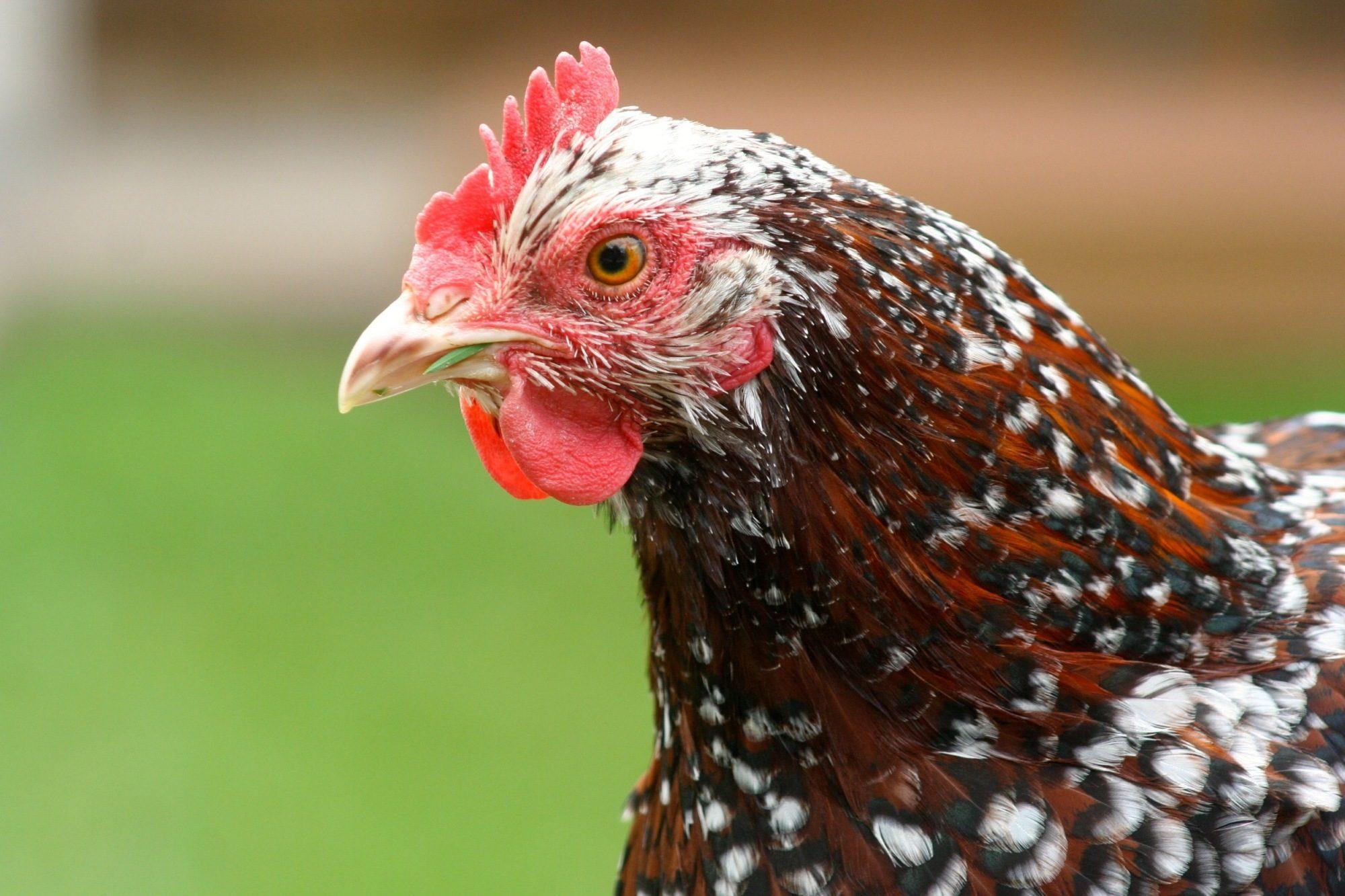 Цвет гребешка курицы расскажет о ее здоровье