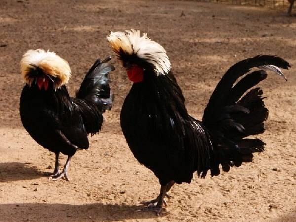 Лакенфельдер - мясо-яичная порода кур. Описание, особенности разведения и ухода, кормление