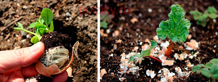 Яичная скорлупа для огорода и комнатных растений