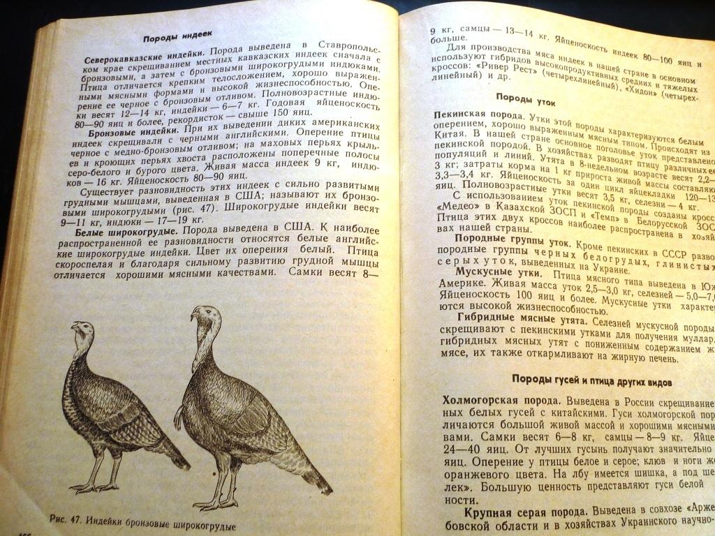 Итальянская порода гусей – нюансы содержания, отзывы, фото