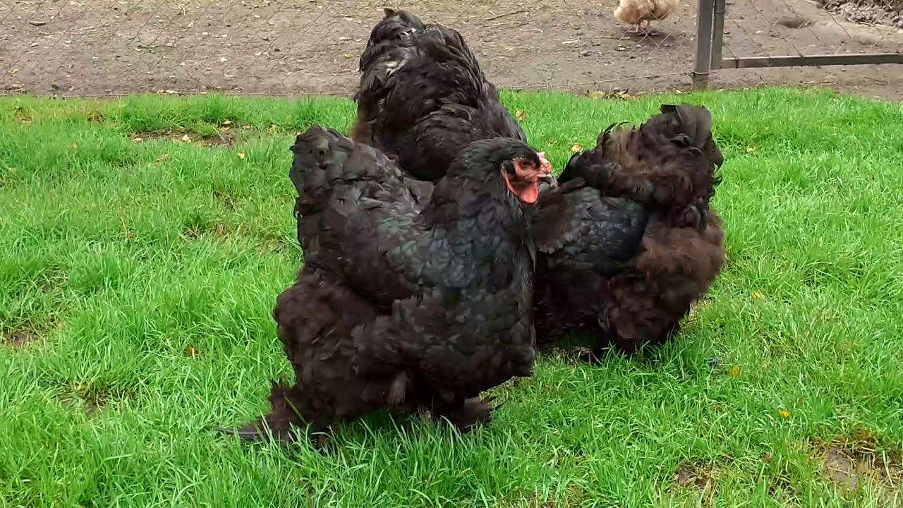 Кохинхин - мясная порода кур. Описание, характеристики, выращивание и правила ухода, яйценоскость