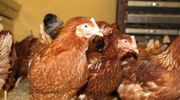 Как определить возраст курицы несушки и отличить старую от молодой