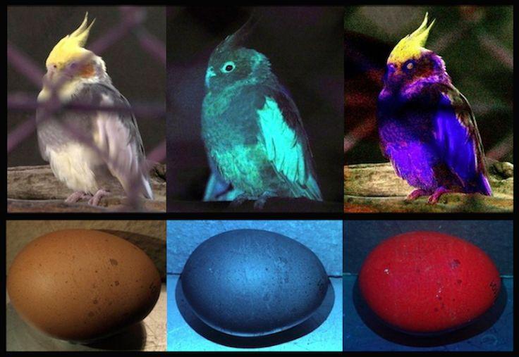 Видят ли куры в темноте и различают ли куры цвета?