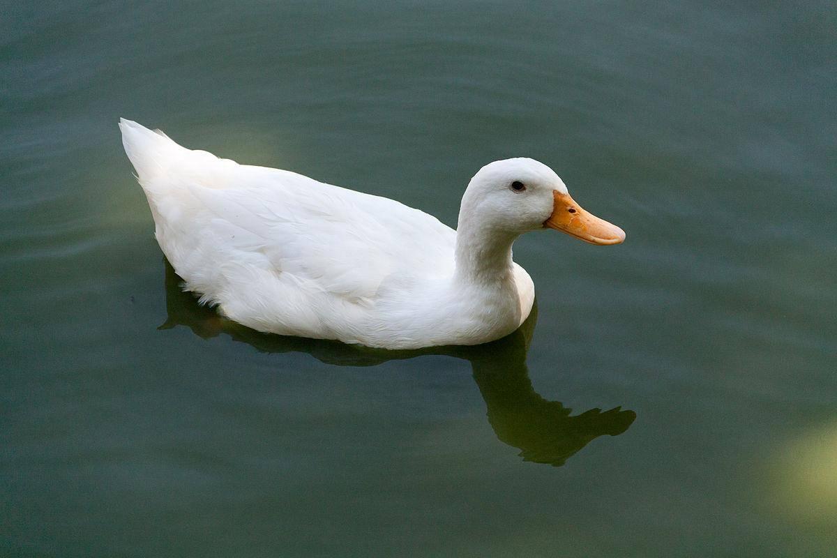 Особенности московской белой утки, нюансы породы, правила выращивания