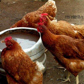 Сколько живут курицы-несушки, бройлеры и петухи в домашних условиях?