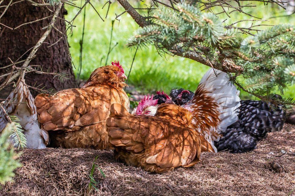 Геркулес порода кур – описание, фото и видео
