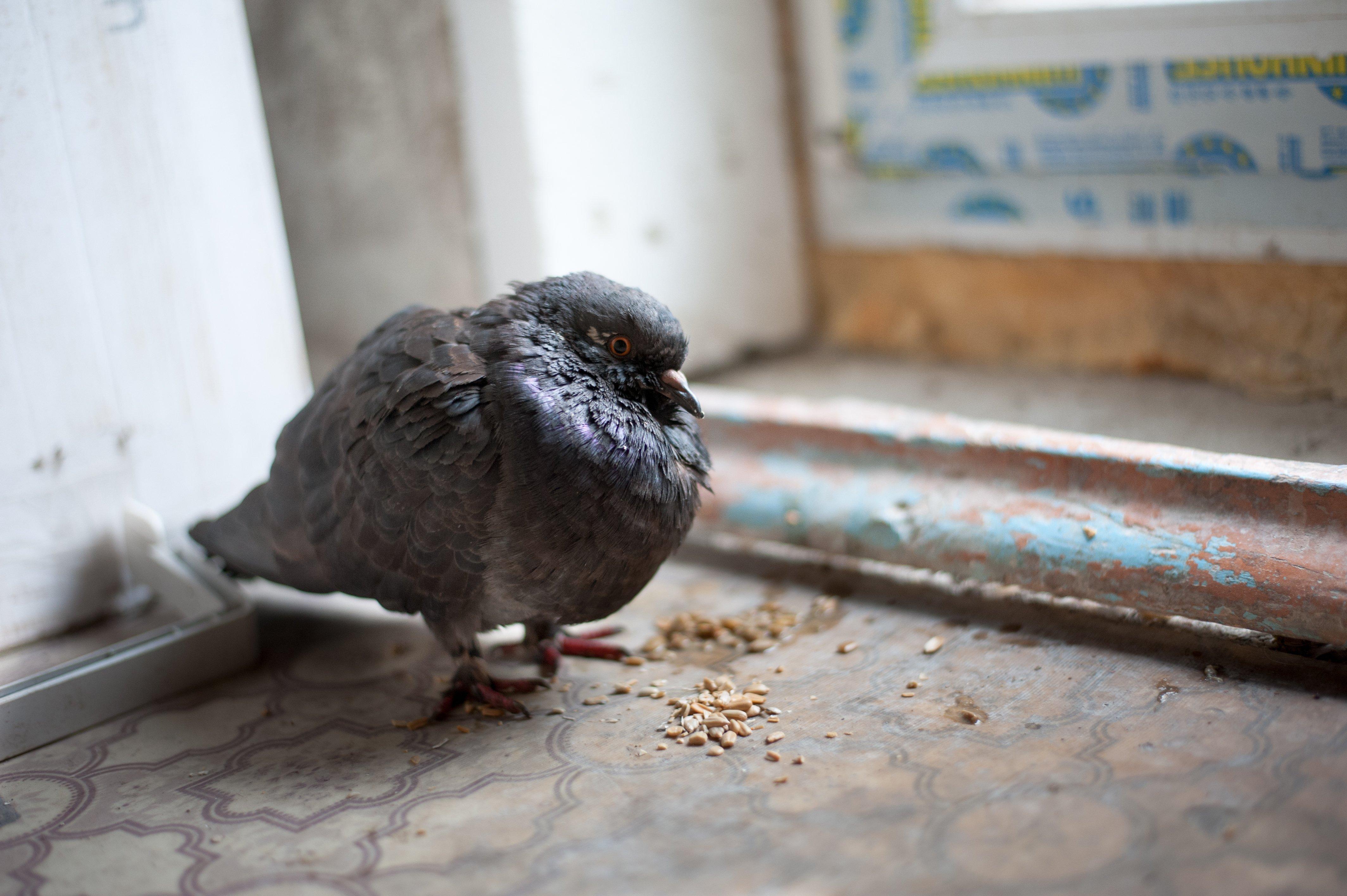 Какой болезнью может заразить человека городской голубь?