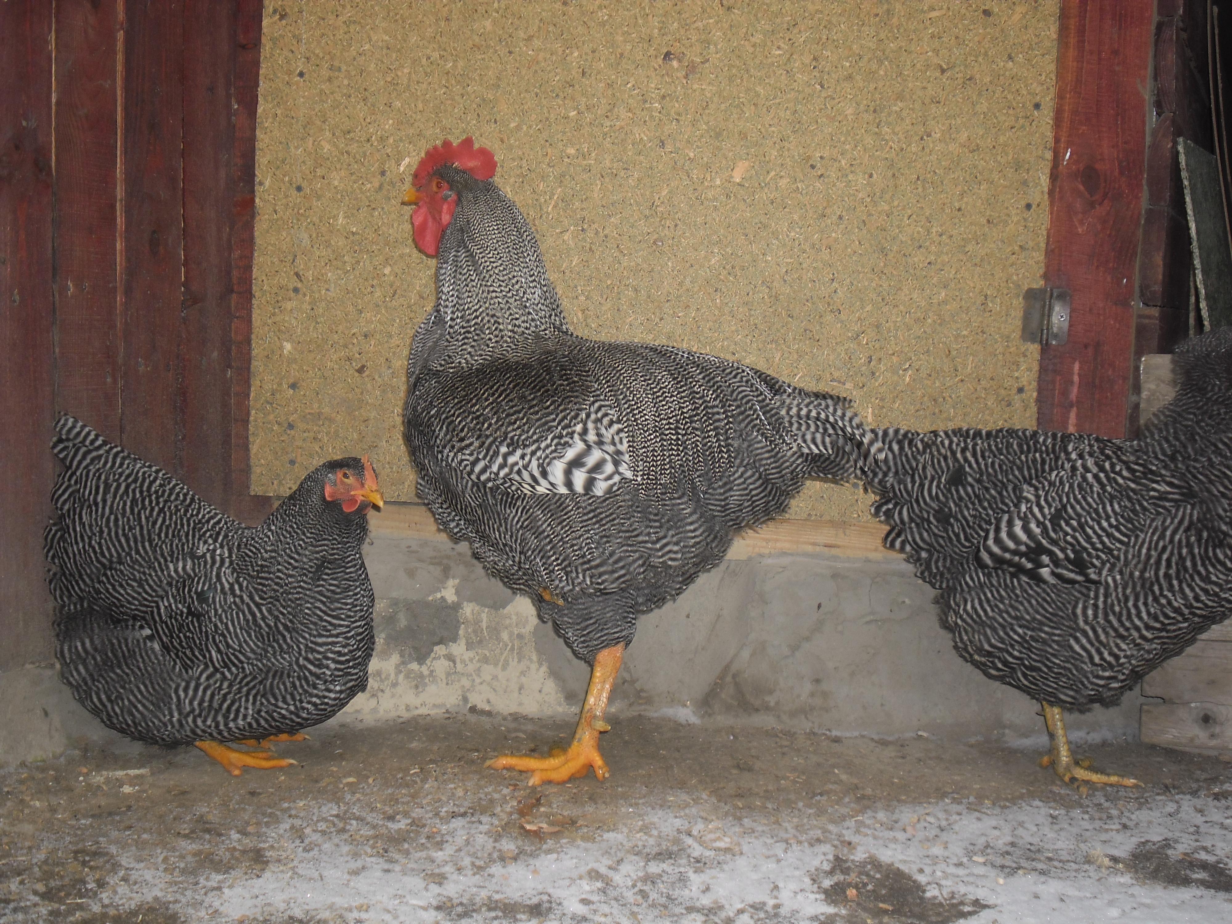 Плимутрок полосатый порода кур – описание, фото и видео