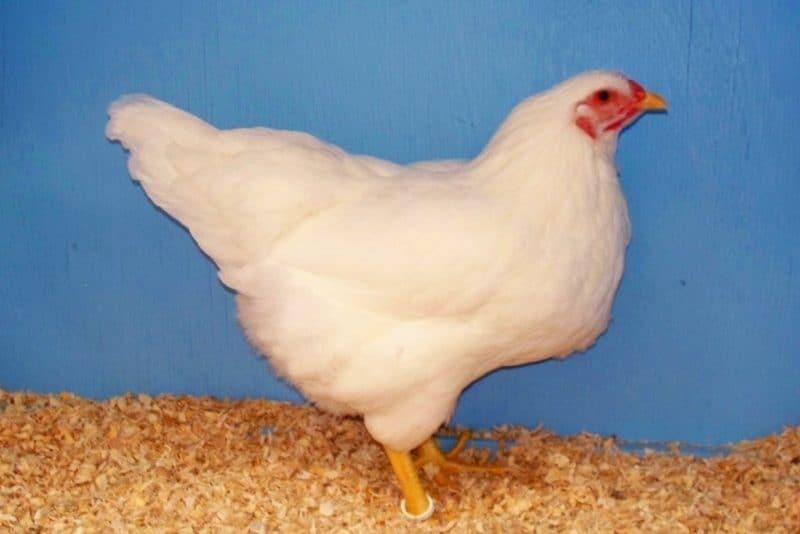 Шантеклер порода кур – описание с фото и видео