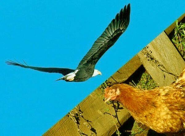 Как отпугнуть ястреба от домашних кур во дворе?