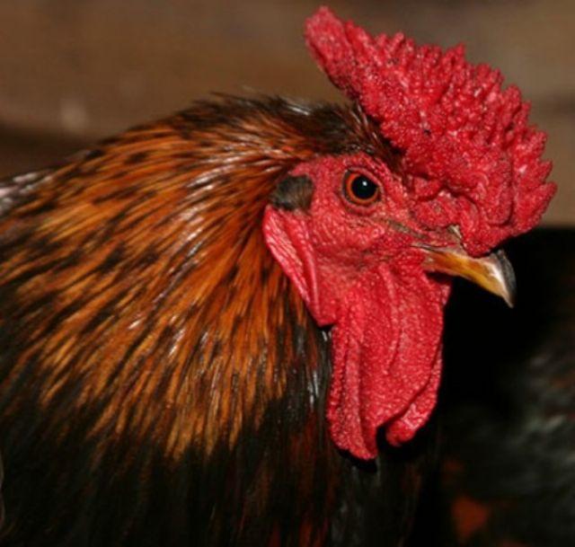 Красношапочная порода кур – описание с фото и видео