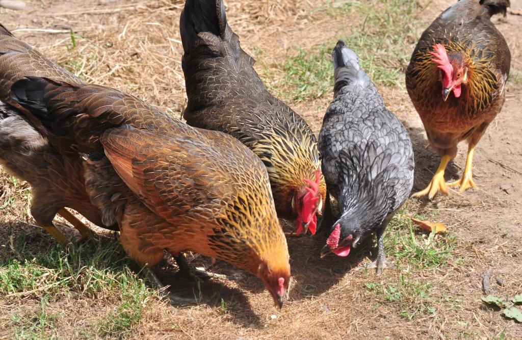 Итальянская порода кур – описание, фото и видео