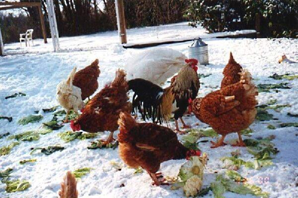 Организация зимнего содержания и кормления кур яичного направления продуктивности