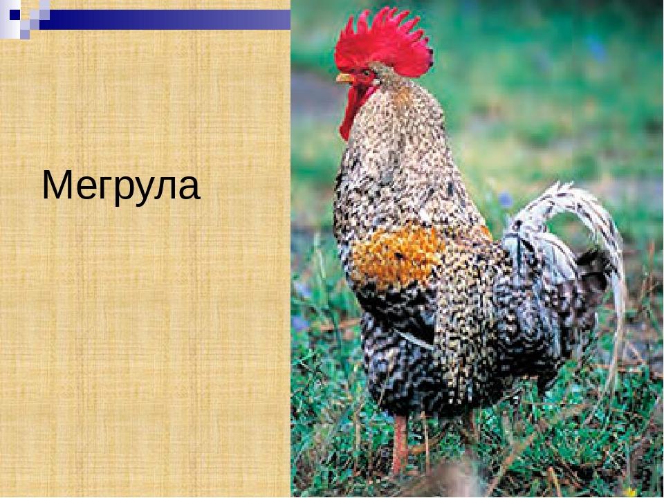 Мергула порода кур грузинская – описание, уход, фото