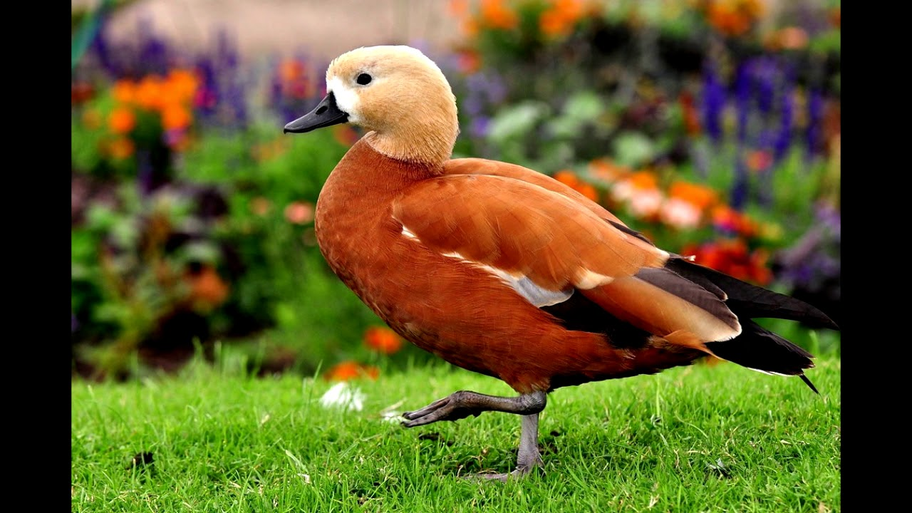 Чем примечательна башкирская утка, описание породы, достоинства и недостатки