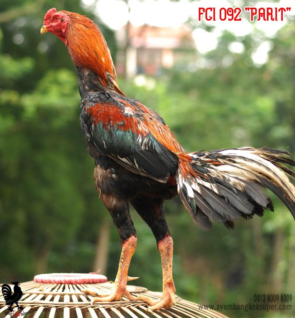 Куланги порода кур Дакан – описание, фото и видео