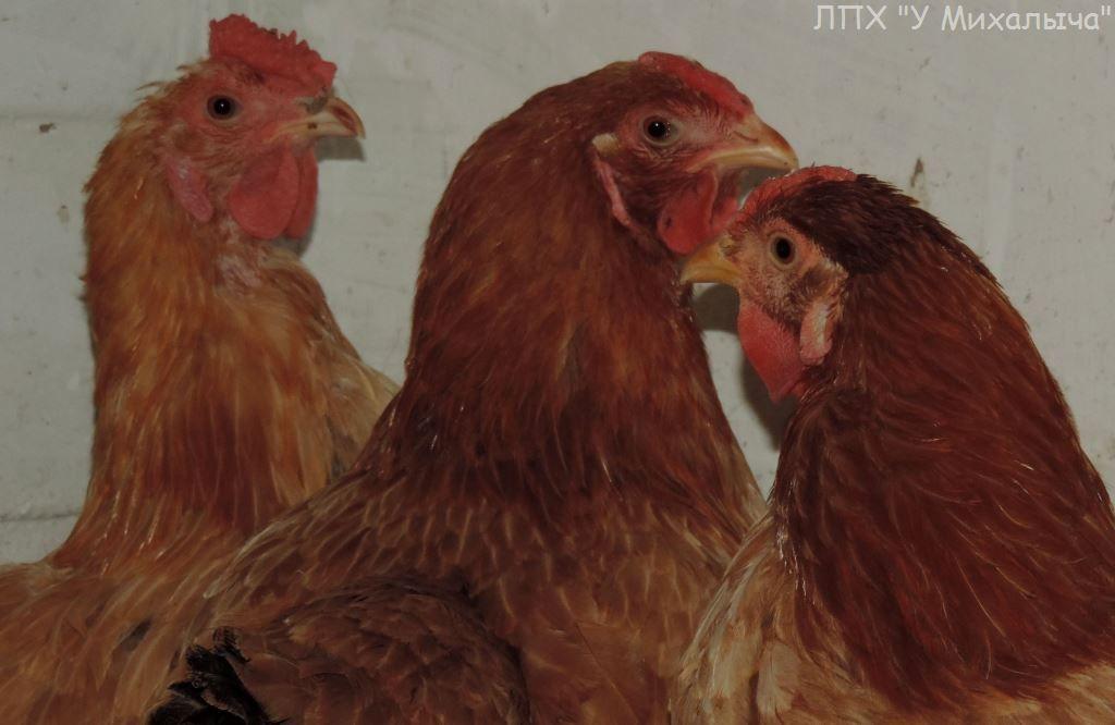 Саксонская порода кур – описание рыжих с фото и видео