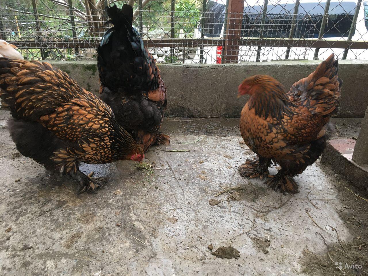 Лакеданзи порода кур – описание, фото и видео