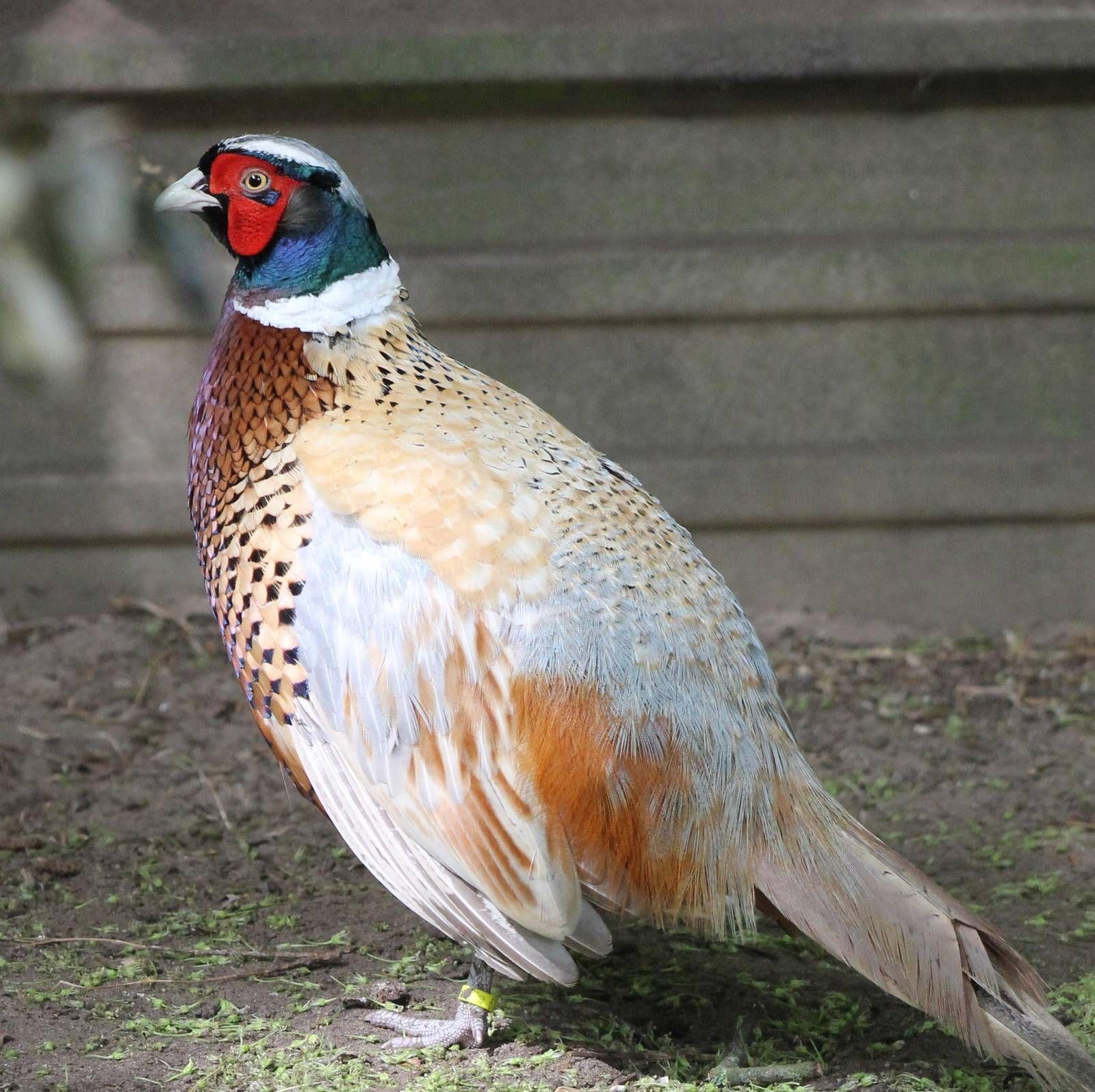 Какие бывают породы фазанов: разновидности и описание