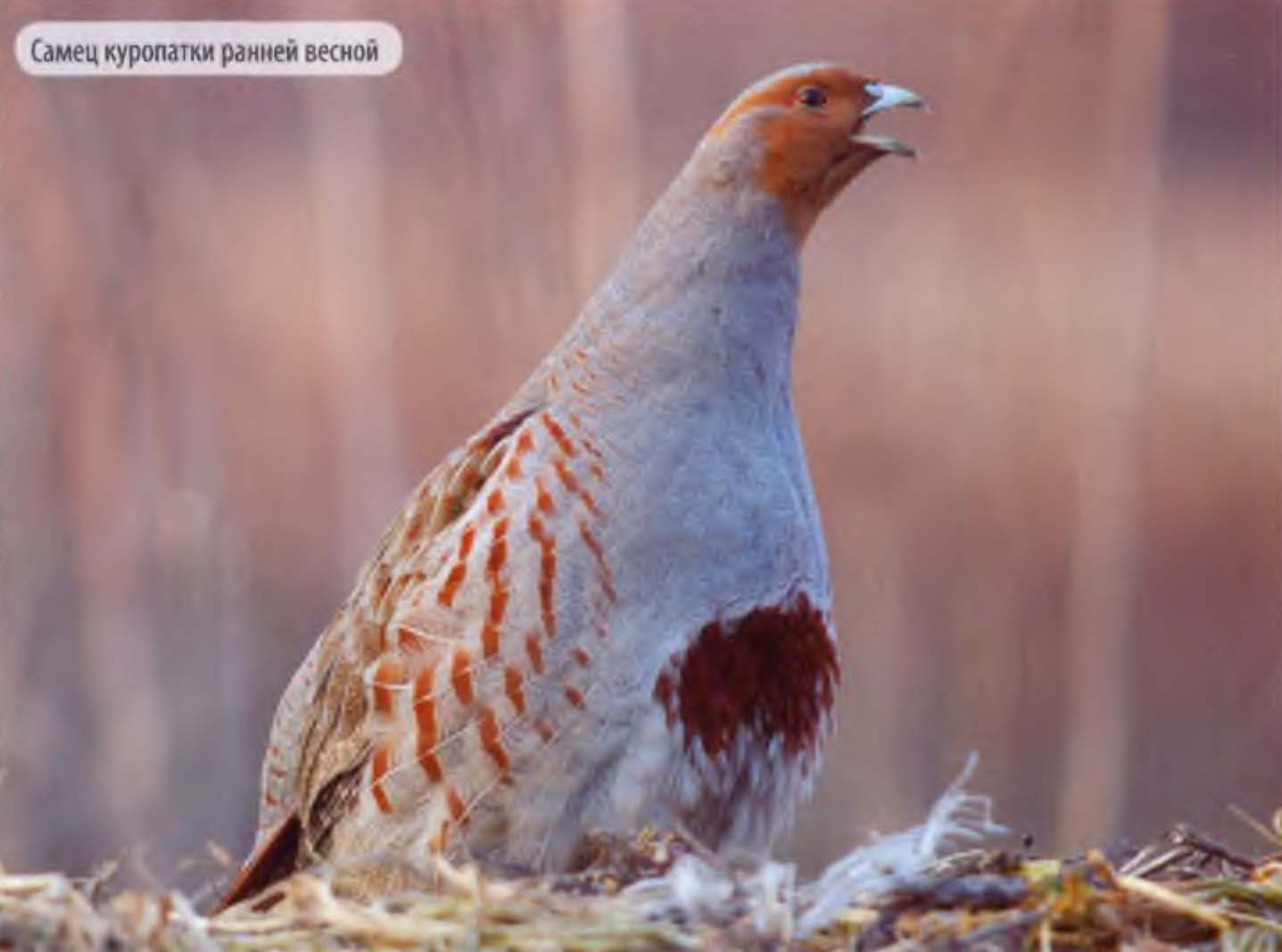 Серая куропатка: описание птицы и ее особенности