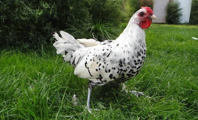 Гамбургская - декоративная порода кур. Описание, особенности разведения и выращивания, кормление