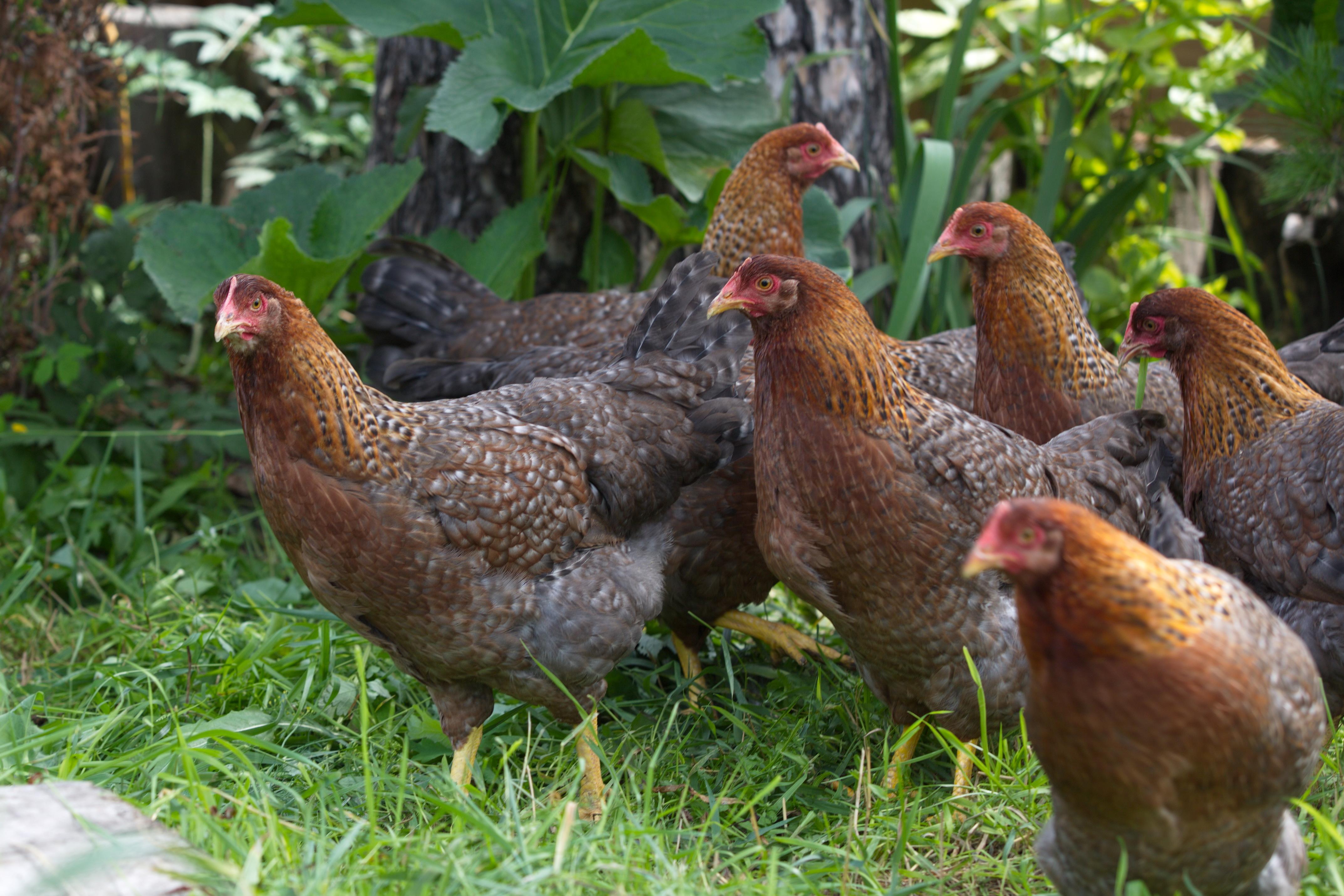 Альштейр порода кур из Австрии – описание с фото