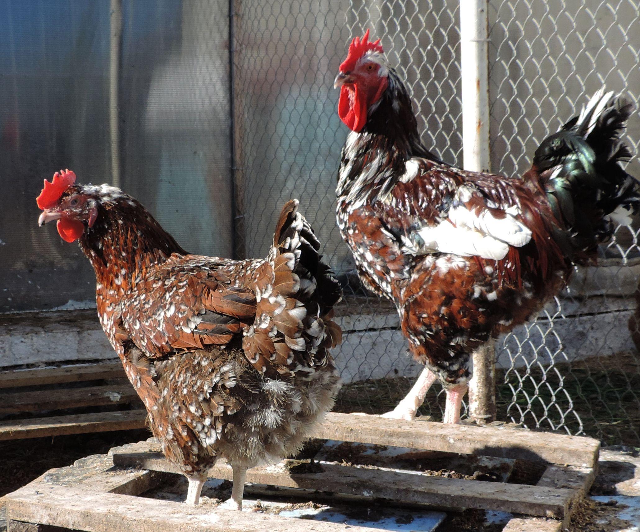Полтавская порода кур – описание, фото и видео