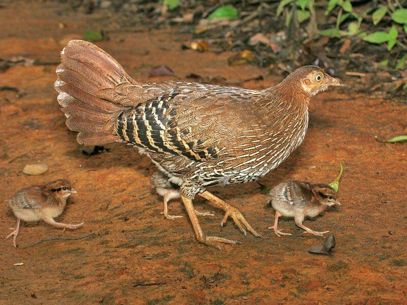 Дикие курицы: банкивская джунглевая, цейлонская, зеленая, серая и их характеристики