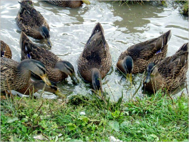 Популярные породы диких уток, их подробное описание с фотографиями, особенности